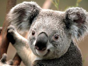 Koala am Lächeln